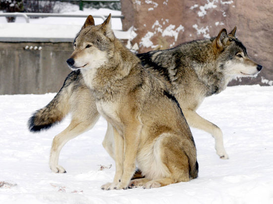 Вслед за жирафом в Дании на глазах детей выпотрошили волка