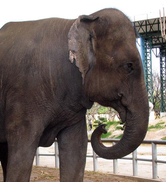 Слониху из зоопарка сгубили новые зубы