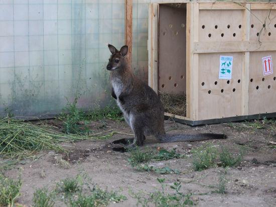 В Барнауле самец кенгуру стал мамой