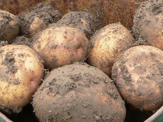 Кто взвинчивает цены на картофель?
