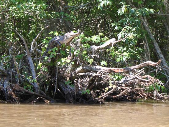 Крах стереотипа: Крокодилы любят лазать по деревьям