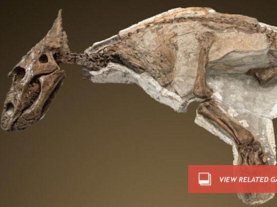 Найдена наиболее сохранившаяся среди всех окаменелость динозавра