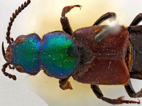 Дарвину подарили жука, которого он описал 182 года назад