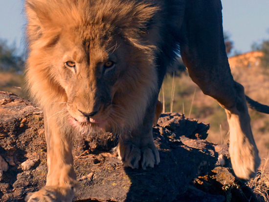 Жительница Нижнего Новгорода подала в суд на льва