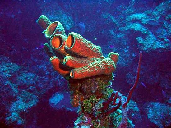 Морские губки помогут в лечении онкологических заболеваний