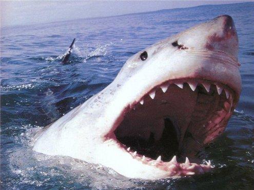 Акула-людоед рыщет по Приморью