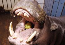 В Московском зоопарке поселится виртуальный бегемот