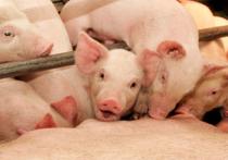 Жадность к бедности! Томская  компания  «Сибирская  Аграрная Группа» (САГ) может получить многомиллионный штраф  за необоснованное  повышение цен  на свинину
