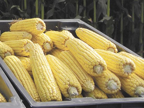 Стоит ли бояться ГМО, особенно скрещивания пшеницы со скорпионом?