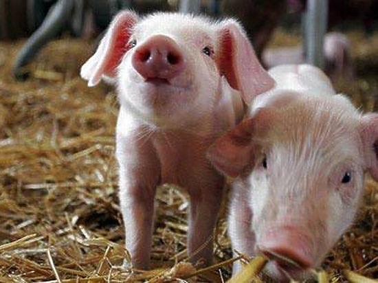 До нас рухається африканська чума свиней!