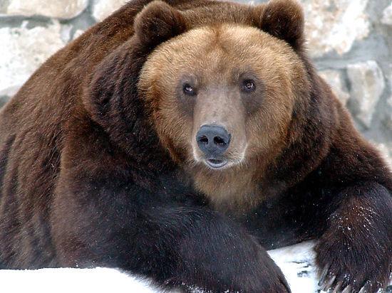 Медведь-шатун, на которого охотились машинисты тепловоза, оказался рецидивистом