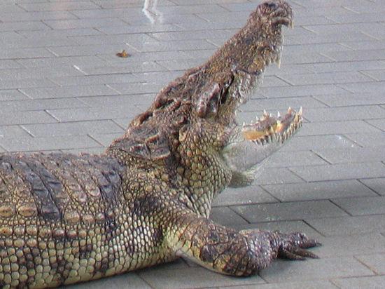 Бухгалтерша весом в 120 кило свалилась на крокодила Федю, спрятанного под полотенцем