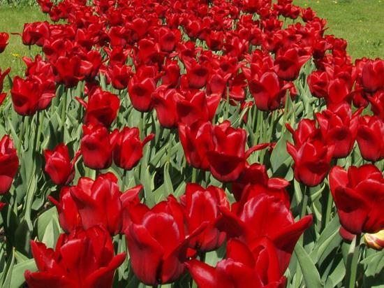 В Кремле и Александровском саду высадят почти 140 тысяч тюльпанов