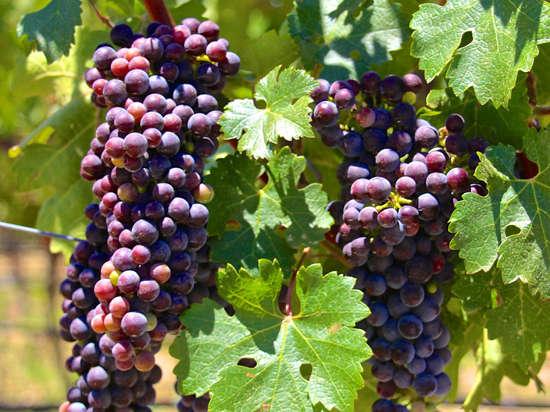 Обращение виноделов Крыма к Путину ограничить импорт вина из Европы ударит прежде всего по ним самим