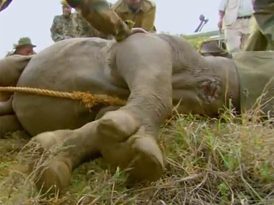 В субботу умер последний самец носорога, способный к размножению