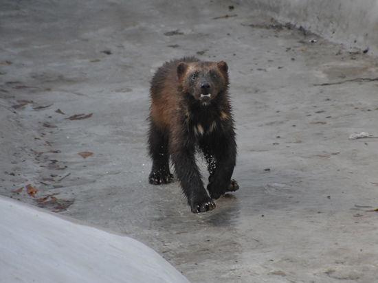 В Московском зоопарке отпраздновали новоселье россомахи