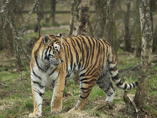 Выпущенный Путиным на волю тигр Кузя вернулся в Россию из Китая