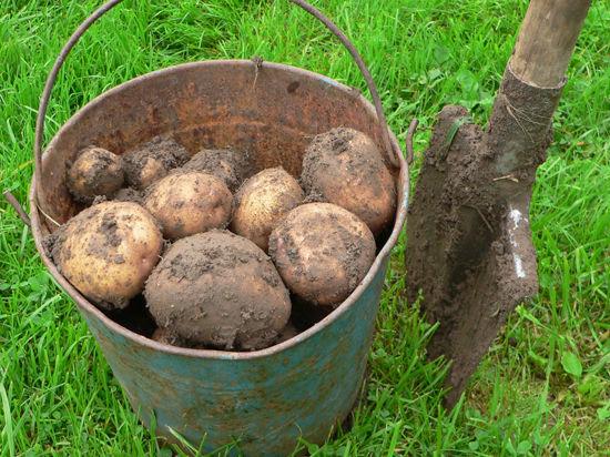 Как сажать картошку по-деревенски: советы бывалых